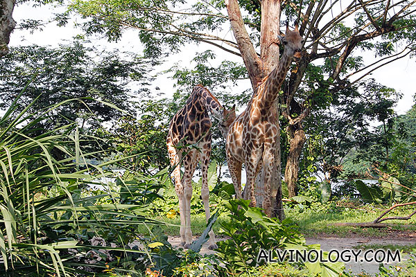 Two majestic giraffes
