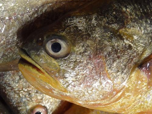 黃魚在過去是馬祖地區大宗漁獲,到此一遊似乎不吃不可