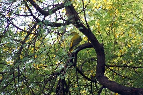 Ein indischer Vogel sitzt in den Ästen