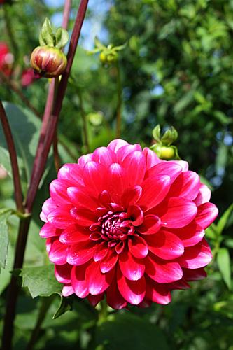 Red-pink-flower2