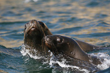 Swimming with sea lions in Peru with Nature Expeditions (2)