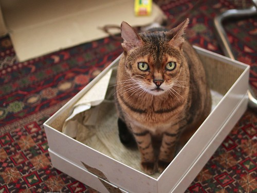 Rani cat sitting in a shoebox