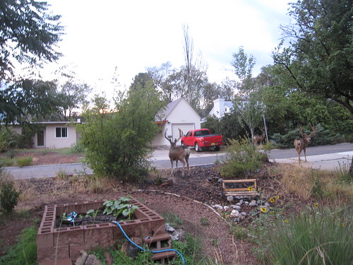 Mule deer in the yard