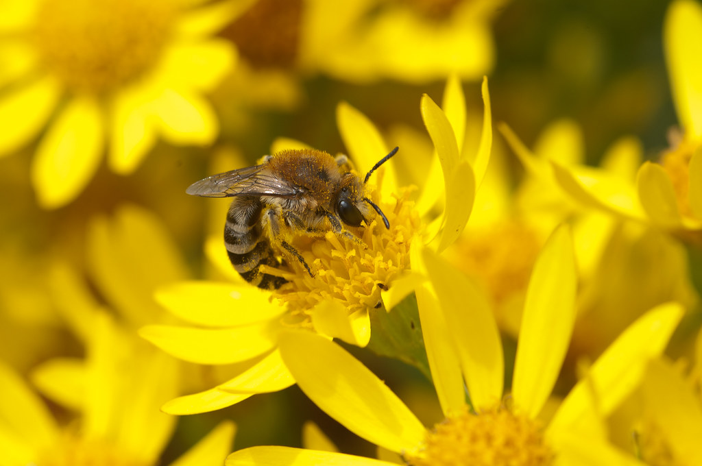 Colletes fodiens