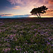 Lone Tree In Heather, North Yorkshire Moors - Explored 28/08/12 by mark_mullen