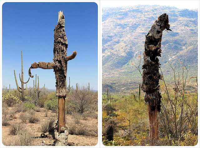 dead saguaros arizona