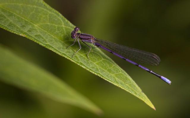 A male Violet Dancer (Argia fumipennis violacea).
