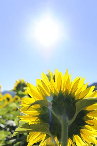[フリー画像素材] 花・植物, 向日葵・ヒマワリ, 太陽 ID:201209081600