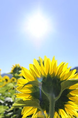 [Free Images] Flowers / Plants, Sunflower, Sun ID:201209081600