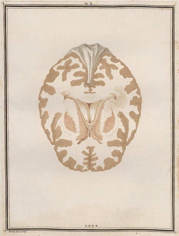 cross-section book illustration of brain tissue