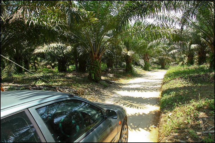 palm-oil-plantation