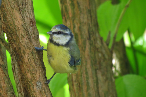 Bluetit Holding on C16