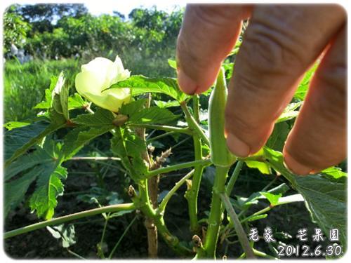 120630-阿嬤的秋葵