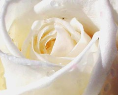 nice-white-rose-picture