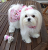 Needle Felted Dog~ Custom Pet Portrait Sculpture~Maltese~ Stella by Gourmet Felted