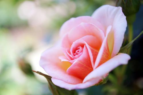 Rose Francois Poisson ?? ????? ?????