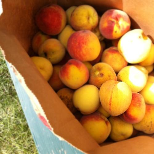 peach harvest #organicgarden #urbangarden #zone6a #maine #nofilter