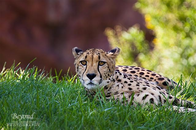 TZoo_Cheeta_092012