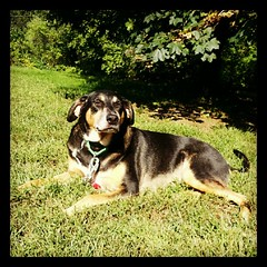 Soaking up the afternoon #sun  #dogstagram #dogs #rescue #adoptdontshop #mutt #hound #petstagram #yard #instadog #lazy #relax