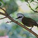 White Crested Laughing Thrush -2