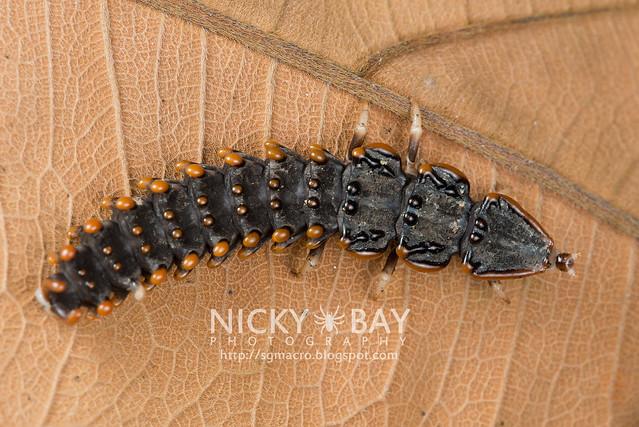 Trilobite Beetle (Platerodrilus sp.) - DSC_1935