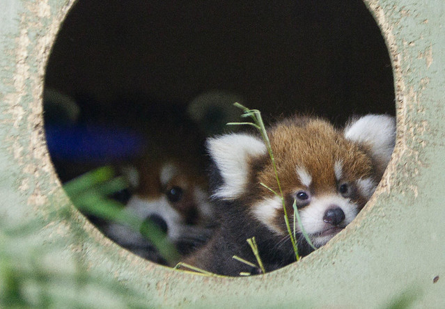 Assiniboine Park Zoo Red Panda Cub Named Kiah