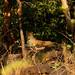 Leopard, Satpura (David Raju)