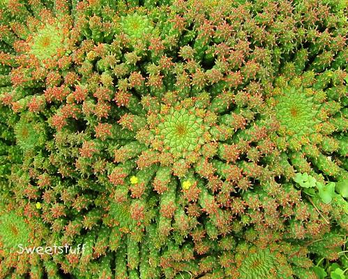 Euphorbia caput-medusae 2
