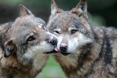 [Free Images] Animals 1, Wolves, Animals - Couple, Kiss ID:201209291000