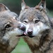 Wolves, Jackals, and Allies - Photo (c) Giuseppe Calsamiglia, some rights reserved (CC BY-ND)