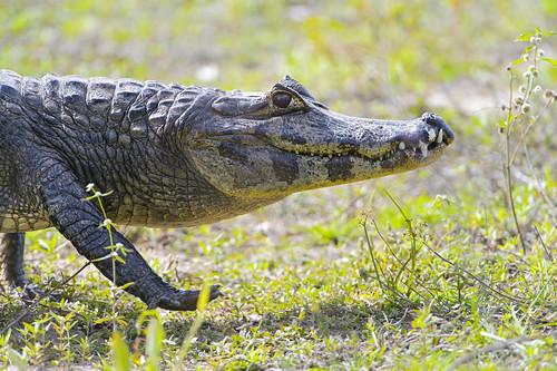 [フリー画像素材] 動物 2, 爬虫類, 鰐・ワニ ID:201209301000