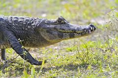 [Free Images] Animals 2, Reptiles, Crocodilias ID:201209301000