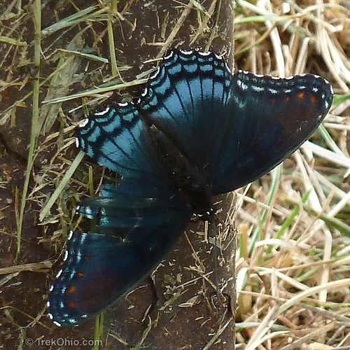 Red-spotted Purple Butterfly (Limenitis arthemis astyanax)