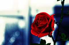 Roses are red! 275/366