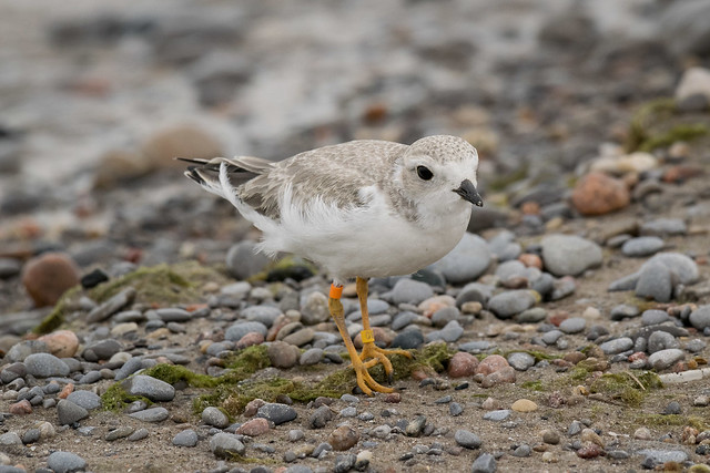Piping Plover - 2552