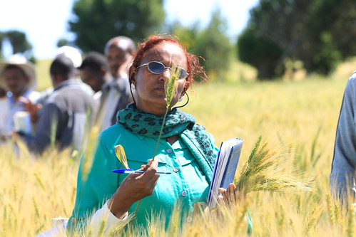 Expert from Kaliti wheat flour factory collecting sample of wheat varieties during Sinana farmers field day (photo credit: ILRI / Apollo Habtamu).