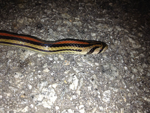 Striped kukri snake