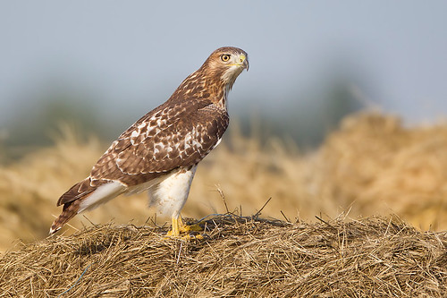 Hay-bale Redtail by Jeff Dyck