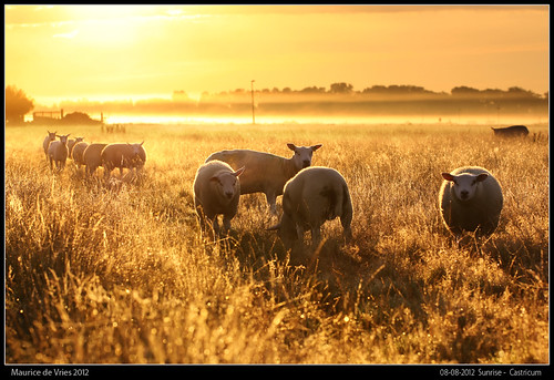morning sunset macro fog sunrise canon is sheep 100mm polder sheeps castricum schapen schaap dreamscapesmaurice