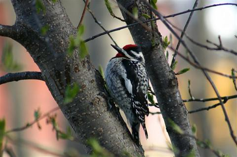 Yellow-bellied Sapsucker Nr Edmonton Alberta