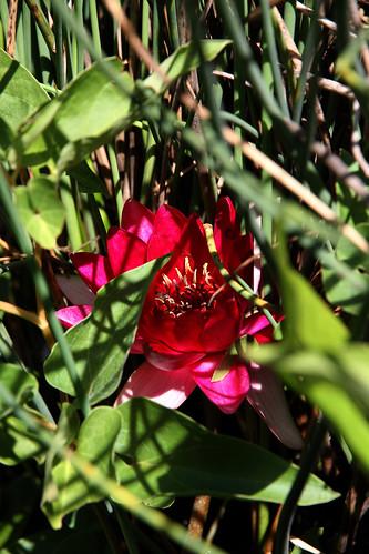redlily