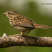 Bruant chanteur juvénile - Song Sparrow