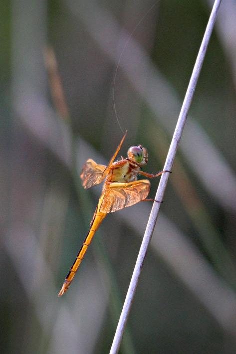 072612_04_zbug_dragonfly01