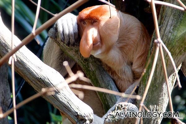An adult proboscis monkey