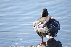 Duck Contemplating Life :D