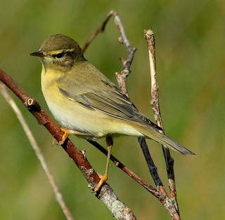 Canon EOS 60D.Canon 70-300mm Lens.A Rare Visitor To The Hazel Screen,Willow Warbler.August 18th 2012.