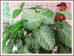 Potted Syngonium podophyllum 'Pixie' with less obvious variegation when located at our shaded garage, July 11 2012