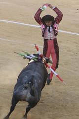 animal sports, cattle-like mammal, bull, event, tradition, sports, entertainment, matador, performance, bullfighting,