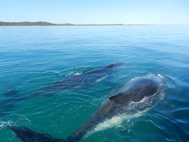 Humpback Whales near Hervey Bay, Australia