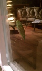 Grasshopper on the back door